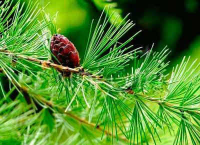 шишки-листв